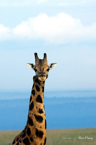 Giraffe on the Paraa Reserve in Uganda